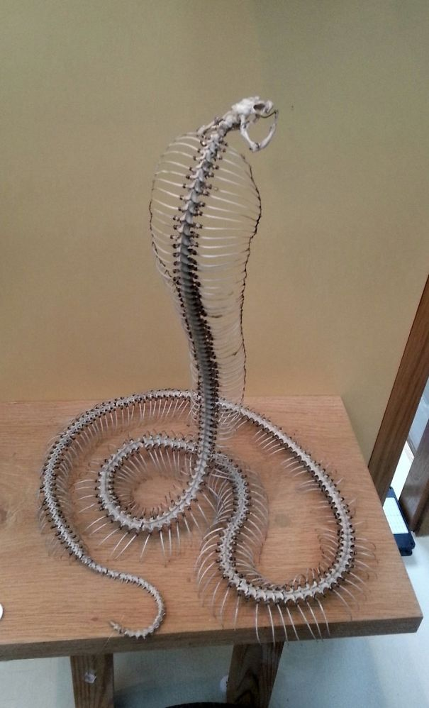 Articulated Cobra Skeleton