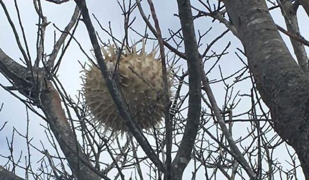 After A Weekend Storm In New England, A Puffer Fish Was Found In A Tree