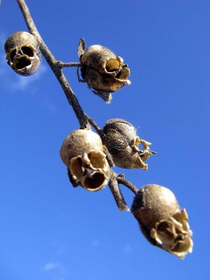 Las cápsulas de semillas de la planta Boca de dragón parecen calaveras