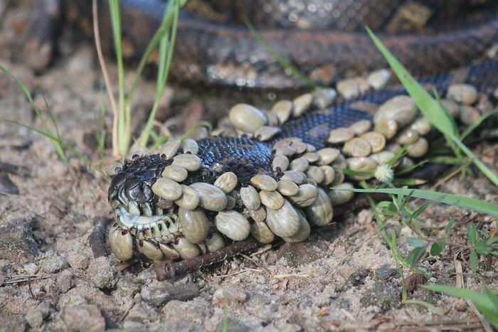 Serpiente cubierta de garrapatas