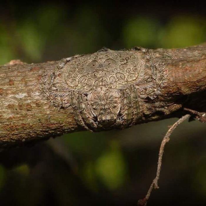 Dolophones Conifera, una araña capaz de aplanarse y envolver su cuerpo en las ramas de los árboles