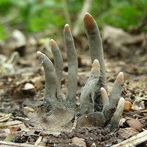 Xylaria Polymorpha, Commonly Known As Dead Man's Fingers, Is A Saprobic Fungus