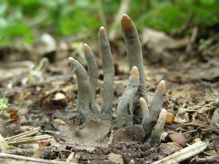 """Xylaria Polymorpha, también llamada """"Dedos de muerto"""", un hongo saprobio"""