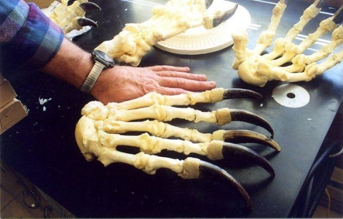 Bear                                                           Claws Next To                                                           Human Hand