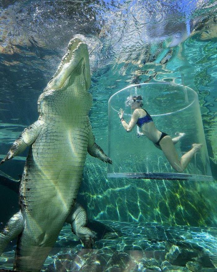 Salt                                                           Water Croc Is                                                           An Absolute                                                           Unit