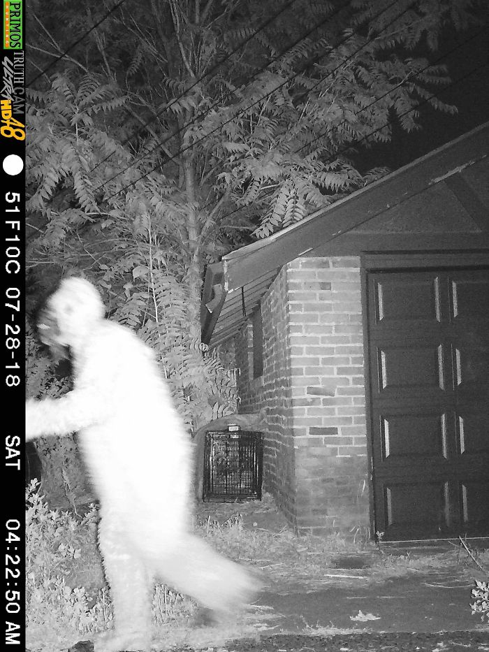 My Friend Played A Prank On His Girlfriend. She Has A Night Vision Motion-Activated Camera Setup In A Quest To Treat A Sick Coyote. She Checks The Footage Every Morning Religiously. He Rented A Sasquatch Outfit And Walked Around The Camera At 4 Am