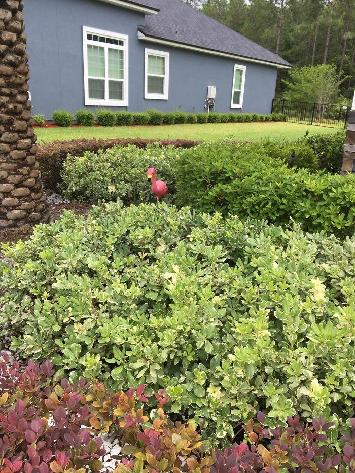 Mi esposa dijo que no quería flamencos cutres en su jardín. Lleva 1 mes ahí escondido y contando