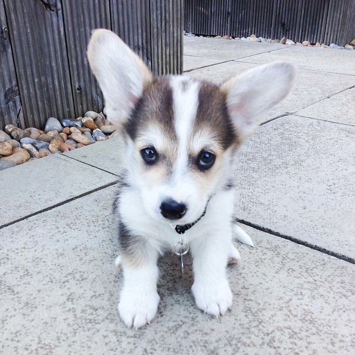 The Only Thing Bigger Than Winston's Puppy Eyes Are His Ears