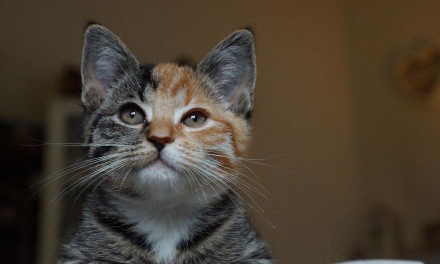 chat deux faces chimere