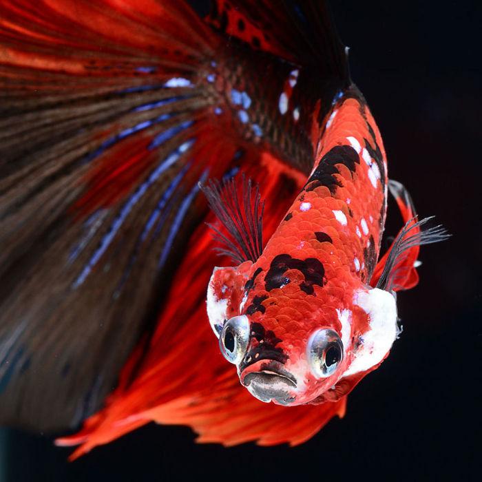 The Elegant And Fantastic Poses Of Aquarium Fish Captured By A Thai Photographer