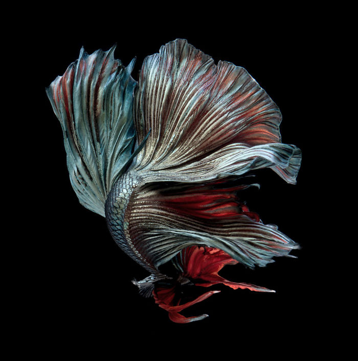 The Elegant And Fantastic Poses Of Aquarium Fish Captured By A Thai Photographer