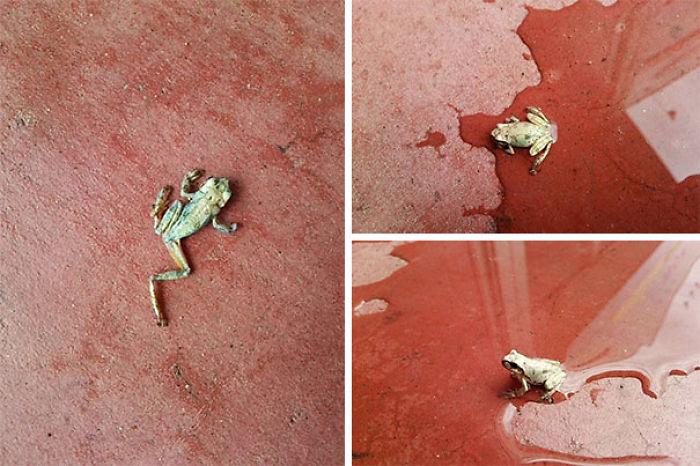 Esta rana estaba en la entrada de la tienda, toda seca. Le echamos agua y volvió a la vida