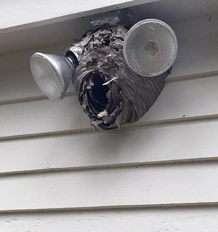 Nido de avispones que parece una cabeza de avispón