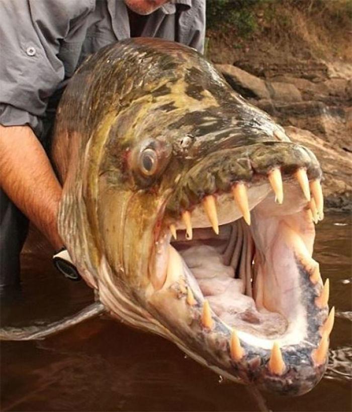 Goliath Tiger Fish, Congo River