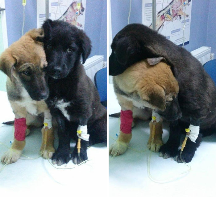 These Brothers Kicking Parvo Right In The *** Are The Strongest Puppies You'll See Today