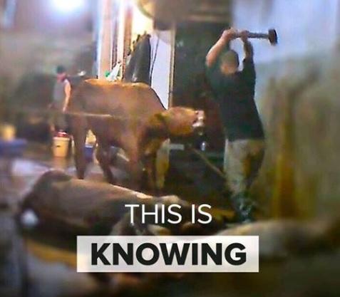fb-cow-slaughter-with-sledgehammer-5b86f417c6950.jpg
