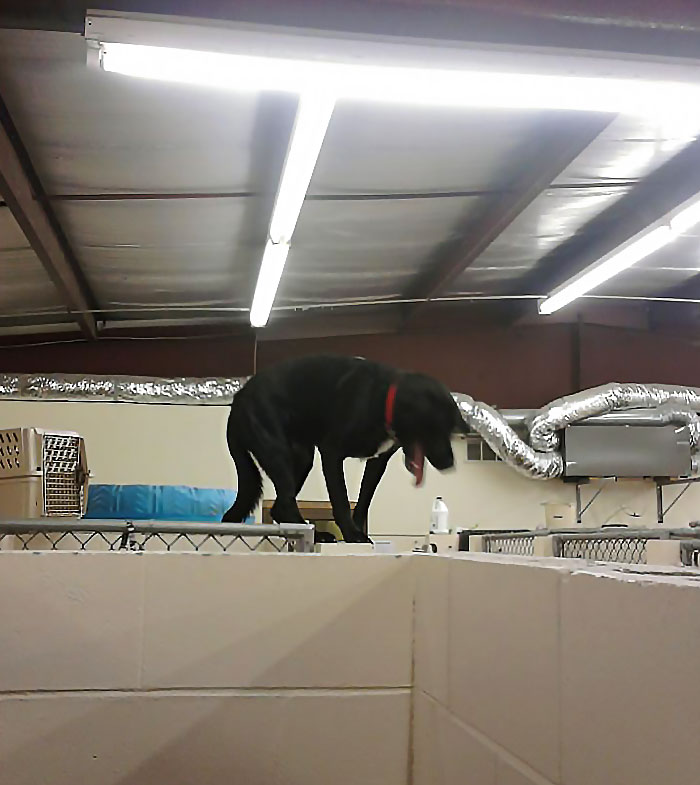 He Was Left Alone For 10 Minutes. He Straight Up Climbed Onto The Wall Of His Kennel. That Wall Is Roughly 6 Feet Tall
