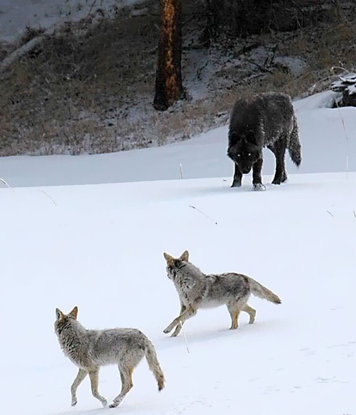 Wolf Size                                                           Compared To                                                           Coyotes