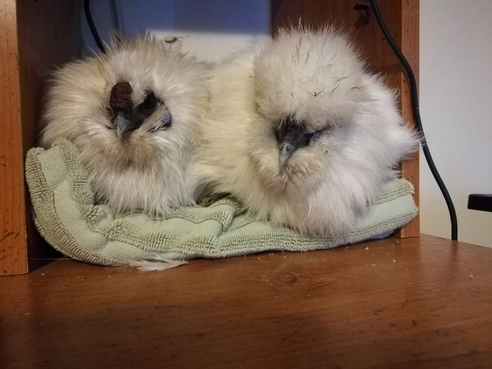 One Day This Owner Couldn't Find His Silkie Chicken, So He Went To Investigate