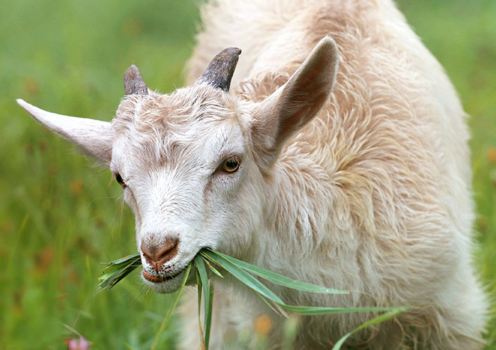 Get One's Goat