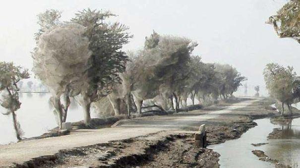 pakistan-trees-webs-1-5b72fcff8654c.jpg
