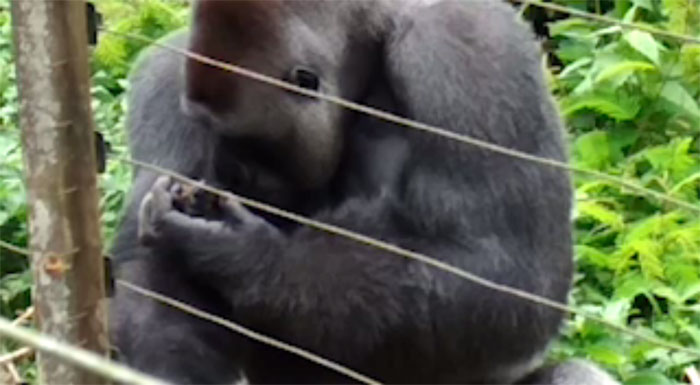 24-Year-Old Dominant Gorilla Meets A Tiny Creature In The ...