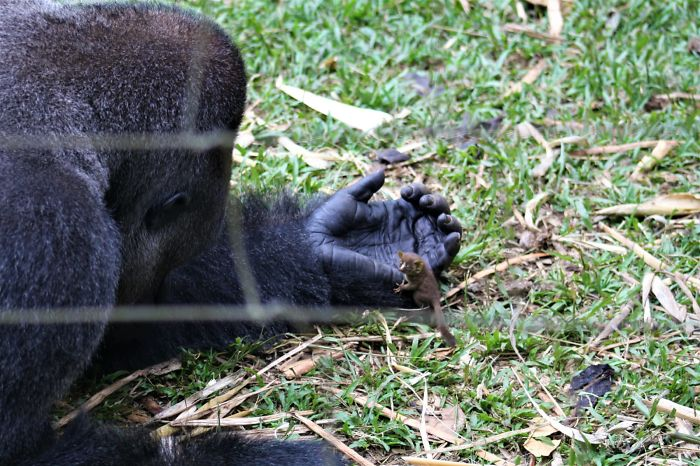 24-Year-Old Dominant Gorilla Meets A Tiny Creature In The Forest, And His Reaction Is Priceless