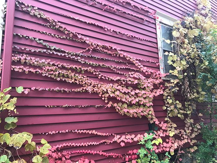 The Vines On My House Have Changed Color To Match The Siding