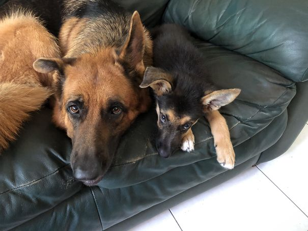 A Puppy I Adopted Can't Get Her Right Ear To Stand, Just Like My 3-Year-Old German Shepherd