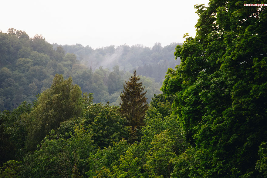 Foggy Forest In Krimulda