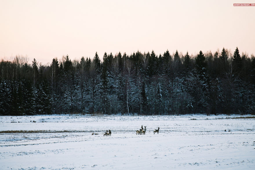 Deer Herd Near Forest In Tukums