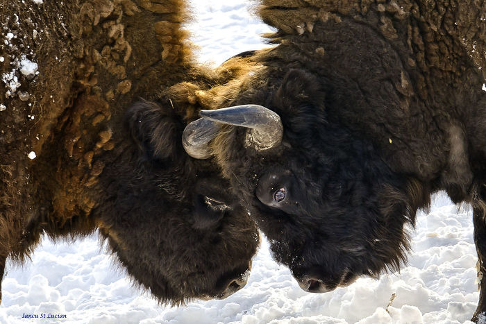 """""""Dragos Voda"""" Reserve: The Only Place In Europe Where You Can Meet Bisons In Freedom"""