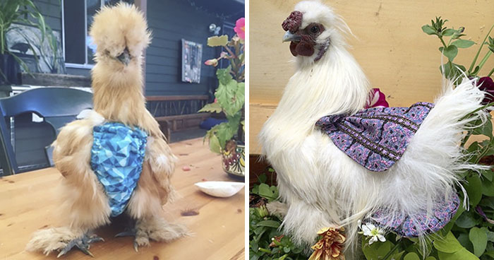 Woman Discovers Need For Chicken Diapers After Daughter Keeps Bringing Chicks Into Her House, Turns It Into A Business