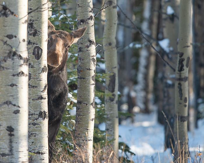 Crouching Tiger Peeking Moose