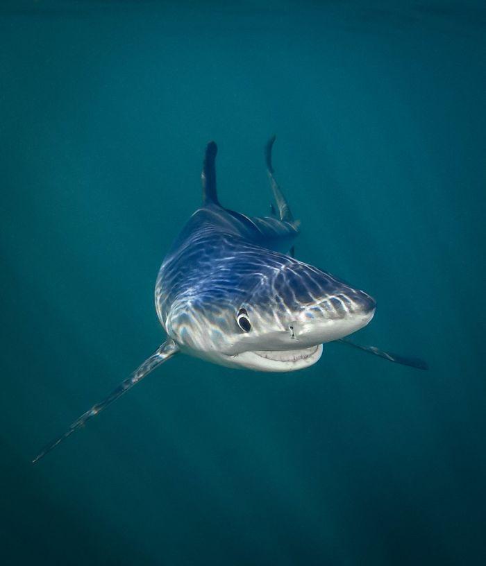 Tiburón azul sonriente