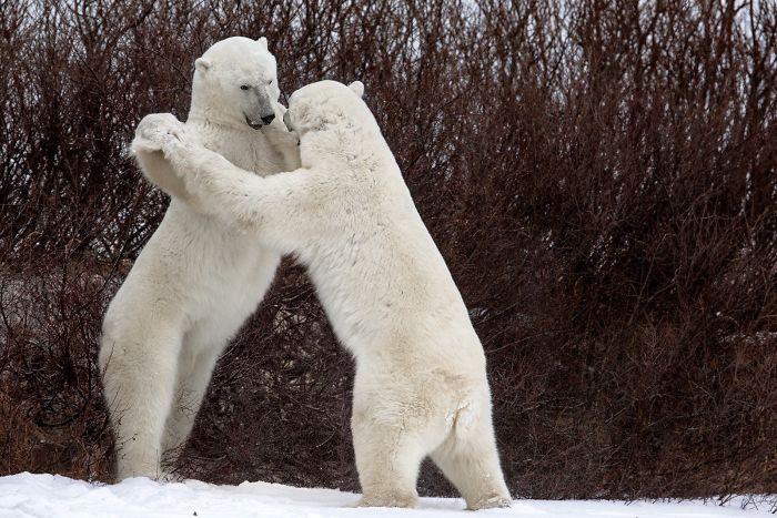 Bailando con osos