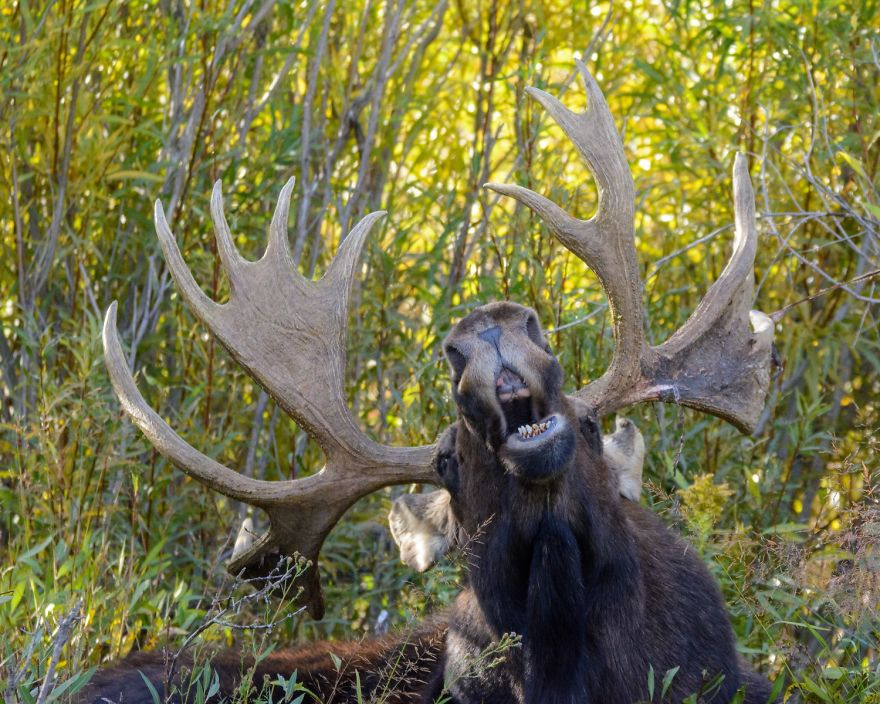 The Singing Moose