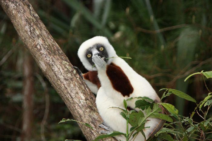 Astonished Lemur