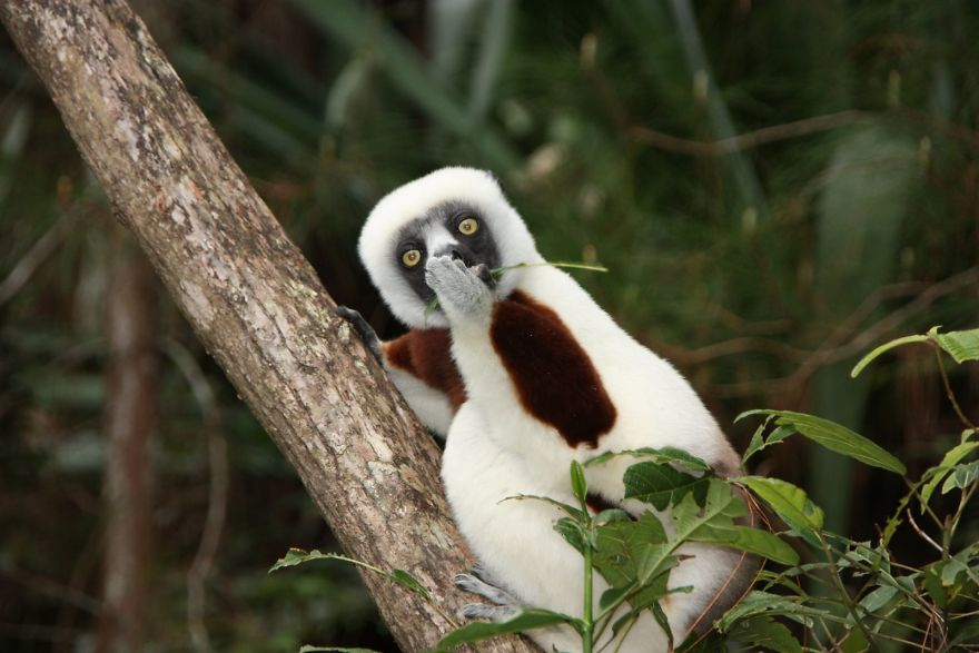 Astonished Lemur