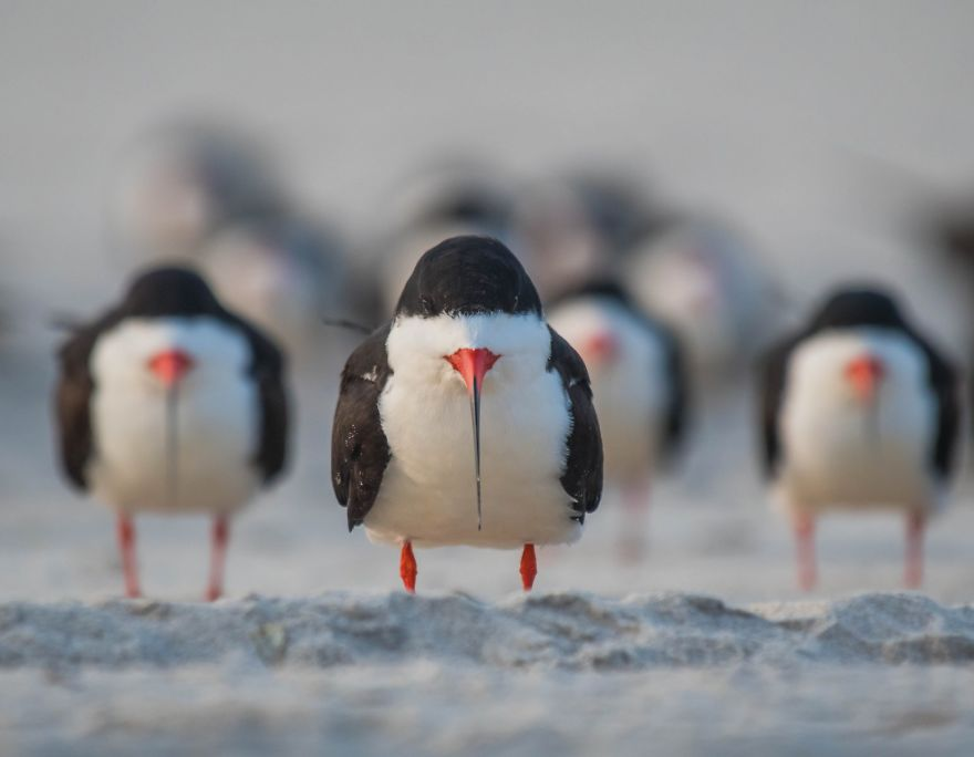 The Black Skimmer Gang