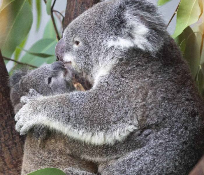 Koala Cub Makes Public Debut Accompanied By Parents