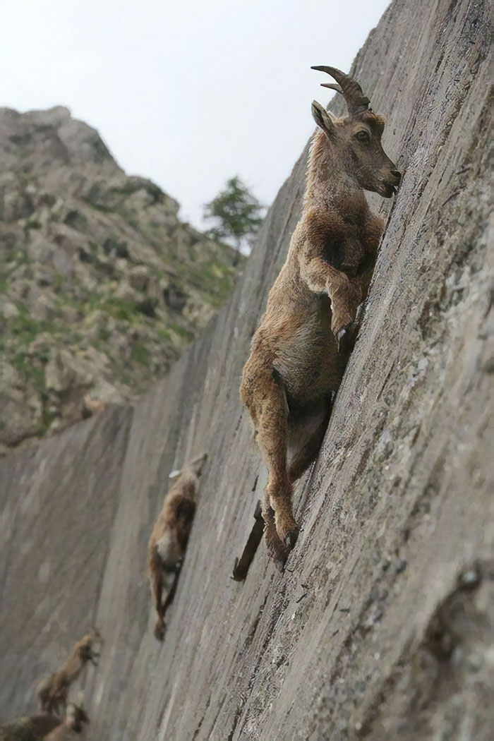 A las cabras montesas se la suda tu gravedad