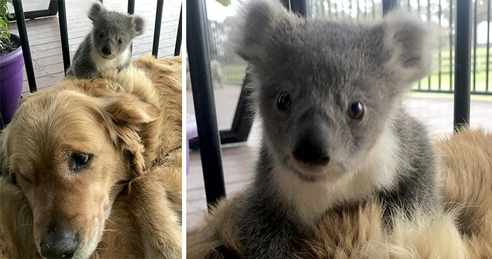 Este Golden retriever sorprendió a sus dueños con una cría de koala cuya vida había salvado