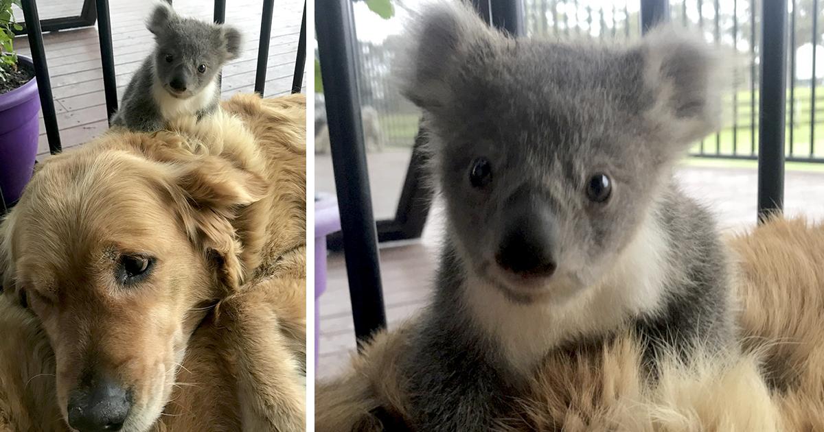 This Golden Retriever Just Saved An Abandoned Baby Koala
