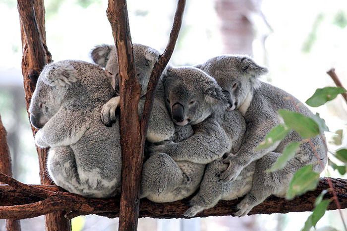 koalas-small-brains-eucalyptus-animals-20