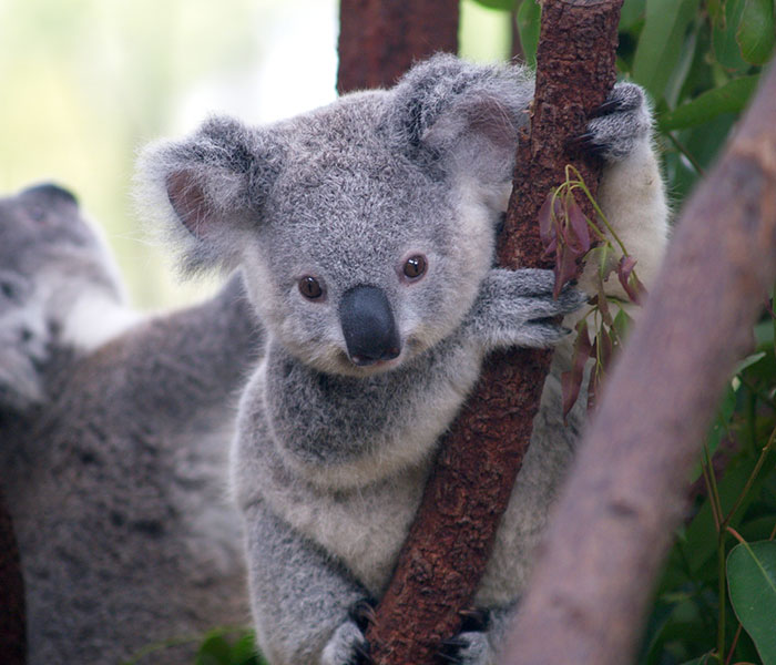 Tumblr Explains Why Koalas Are Animals That Make Absolutely No Sense