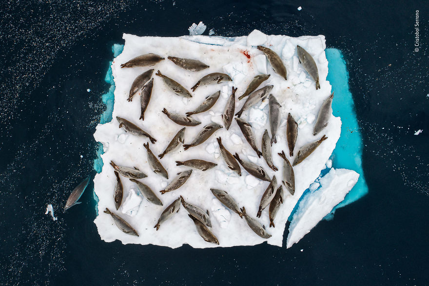Bed Of Seals By Cristobal Serrano, Spain, Winner 2018 Animals In Their Environment