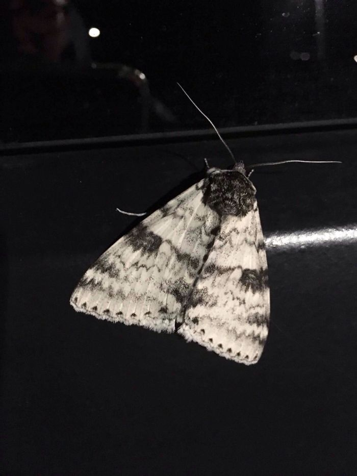 Found A Moth On My Jeep That Has The Face Of A French Bulldog