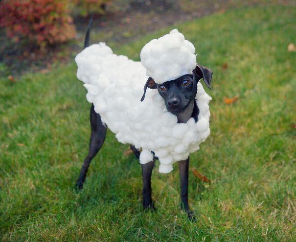 הנה הכלבלב שלי לבוש כמו שון הכבשים ליל כל הקדושים