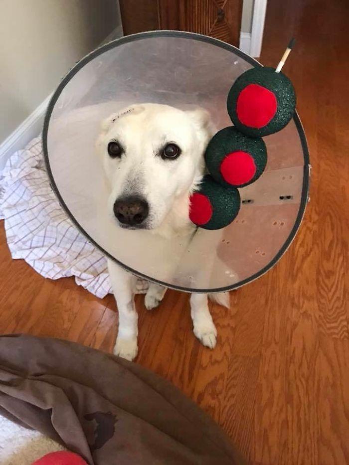 Ya que tiene que llevar un cono, el perro de mi amigo va de Martini